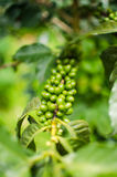 COFFEE ARABICA PLANT Stock Photo