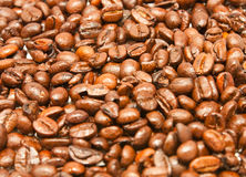 Coffee Bean. Fresh and dry  of Arabica coffee bean, close up Royalty Free Stock Photo