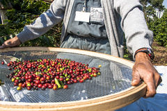 Free Coffee Bean Stock Images - 61305184
