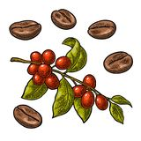 Coffee bean, branch with leaf and berry. Royalty Free Stock Photos
