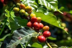 Coffee bean stock image