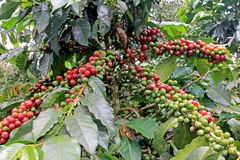 Coffee bean, coffee cherries or coffee berries on coffee tree, near El Jardin, Antioquia, Colombia. South America stock images