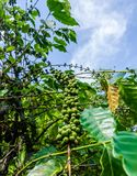 Coffee bean,coffee tree. Agriculture crop Royalty Free Stock Photography