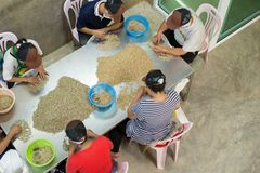 Coffee bean. Green raw coffee beans being sorted out by farmer in Thailand Royalty Free Stock Photography