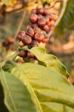 Coffee bean growing on coffee plant Royalty Free Stock Photo