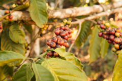 Coffee bean growing on coffee plant Royalty Free Stock Photos