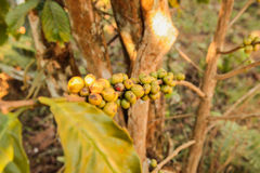 Coffee bean growing on coffee plant Royalty Free Stock Photography