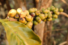Coffee bean growing on coffee plant Stock Images