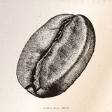 Coffee bean hand drawing engraving illustration. Clip art isolated on grunge background Royalty Free Stock Image