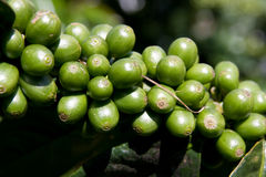 Coffee Bean Plant. Raw green coffee beans on plant Royalty Free Stock Photo
