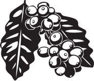 Coffee Bean Plant. Line Art Illustration of a Coffee Bean Plant Stock Photos