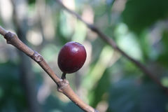 Coffee Bean on Plant. A coffee bud contains a bean; photo has a nice blurred background royalty free stock images
