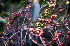 Coffee bean plant ripening in a plantation in Antigua, Guatemala. Coffee bean plant ripening red green in a plantation in Antigua, Guatemala stock image