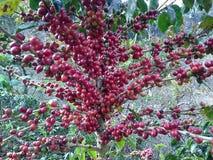 Coffee bean. Tree coffee bean Stock Photography