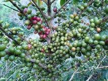 Coffee bean. Tree coffee bean Royalty Free Stock Photos