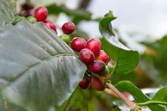 Coffee bean on tree Stock Images