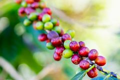 Coffee bean on tree at the mountain in farm at northern Thailand. Coffee beans on tree at the mountain in farm at northern Thailand royalty free stock photos