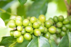 Coffee bean in coffee tree plantation.Fresh green berry of coffee in organic farm.  selective focus royalty free stock image