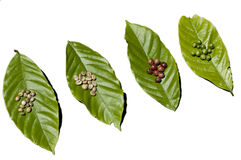 Coffee Beans. Various types of coffee beans laid out on leaves Royalty Free Stock Image
