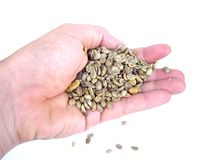 Coffee beans. A hand with untoasted coffee beans Royalty Free Stock Photos