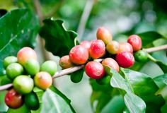 Coffee beans . Stock Images