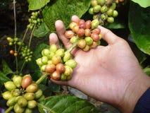 Free Coffee Beans Royalty Free Stock Photos - 31540888