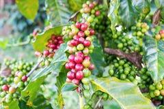 Coffee beans arabica ripe on a tree Stock Photos