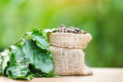 Coffee beans in bag / Roasted coffee in sack with green leaf on wooden table and nature green stock photos