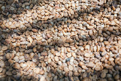Coffee beans in Bali Coffee Plantage Royalty Free Stock Image