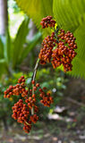 Coffee Beans. Coffee bean plant in a botanical garden in Puerto Rico Stock Photography