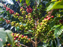 Coffee Beans. On Bolaven Plateau in Laos Royalty Free Stock Images