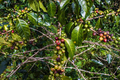 Coffee Beans. On Bolaven Plateau in Laos Royalty Free Stock Photo