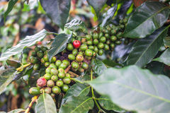 Coffee Beans. On Bolaven Plateau in Laos Stock Image