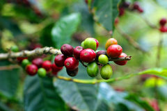 Coffee beans, Boquete, Chiriqui, Panama Royalty Free Stock Photos