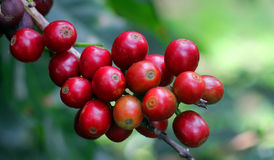 Coffee beans, Boquete, Chiriqui, Panama Stock Photo