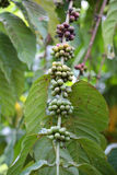 Coffee Beans on the Branch. Close up Royalty Free Stock Images