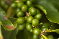 Coffee Beans on the Branch Royalty Free Stock Image
