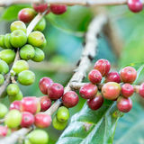 Coffee beans on a branch of coffee tree Stock Photo