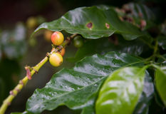 Coffee beans on the branch Stock Images