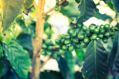 Coffee beans on the branch Royalty Free Stock Photography
