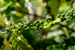 Coffee Beans on the Branch. Green coffee berries growing on tree Royalty Free Stock Image