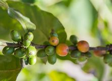 Coffee beans on the branch of the plant Stock Image