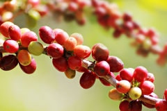 Coffee beans on branch Royalty Free Stock Photography