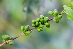 Coffee beans on the branch. Royalty Free Stock Images