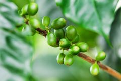 Coffee beans on the branch Stock Photos