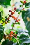 Coffee beans on the branch Royalty Free Stock Images