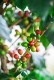 Coffee beans on the branch Stock Photography