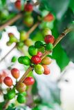 Coffee beans on the branch Royalty Free Stock Photo