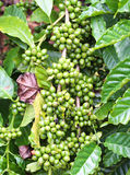Coffee beans on the branch, Robusta Coffee Stock Images