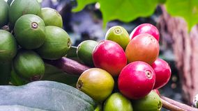Coffee beans on a branch of tree. In the garden Stock Image